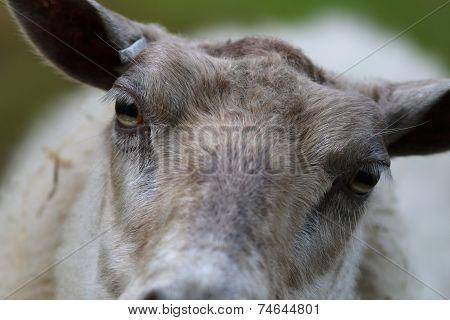 Close-up Of A Sheeps Eyes