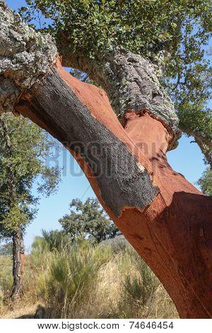 Trunks of oak cork stripped in Portugal poster