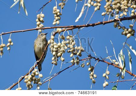 Yellow-Rumped Warbler and a Feast of Berries poster