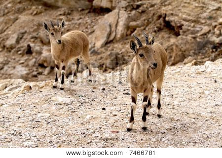 a pair of nubian ibexes