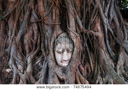 Head Of Ancient Buddha Surrounded By The Roots Of A Tree Of Wat