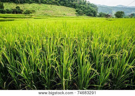 Rice Field in chiangmai Thailand
