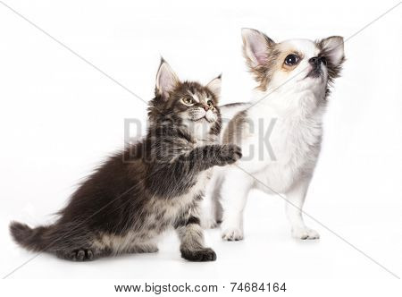 Chihuahua puppy and kitten breeds Maine Coon, Cat and dog