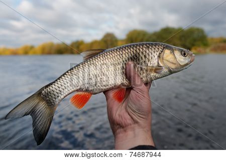 Nice chub in fisherman's hand