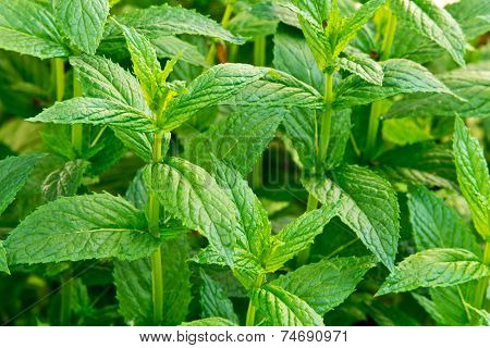 Peppermint In The Garden