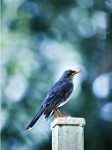 Small Tropical Dark blue with orange pic bird posing poster