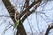 Blue-cheeked Bee-eater on a tree at Lake Baringo Kenya poster