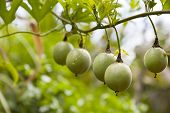Unripe passion fruits in a Kenyan garden. poster