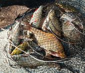 Freshly caught various fresh-water fish in a net poster