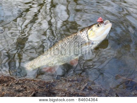 Catch of fish. European Chub (Squalius cephalus).