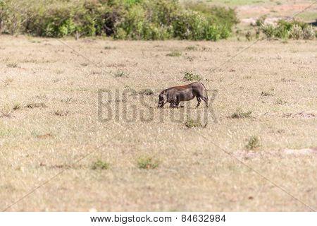 Warthog on the National Park of Kenya.  Africa