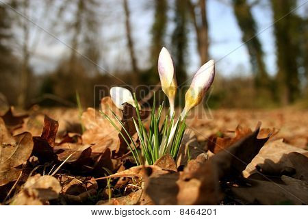 crocus and leaves
