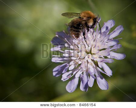 Bee On Field Scabious
