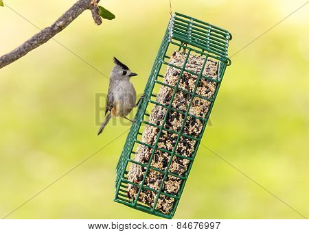 Black Crested Titmouse On Feeder