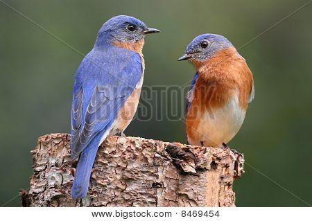 Pair Of Eastern Bluebird