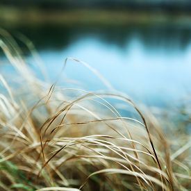 Yellow Dried Grass By The River