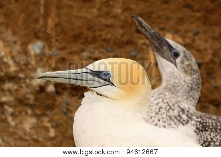 A Tale Of Two Gannets