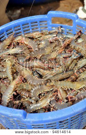 Shrimp harvest in a blue basket in the mekong delta
