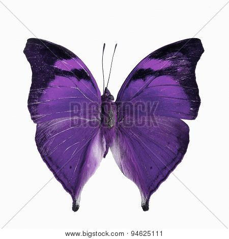 Purple butterfly Autumn Leaf butterfly Nymphalid butterfly (Doleschallia bisaltide) in fancy color profile isolated on white background poster