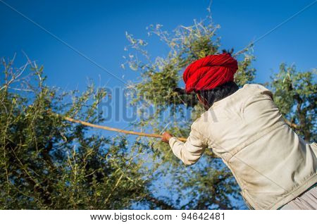 GODWAR REGION, INDIA - 13 FEBRUARY 2015: Rabari tribesman holds traditional axe and cuts branches from tree to feed herd. Rabari or Rewari are an Indian community in the state of Gujarat.