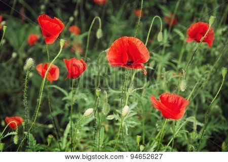 Red Corn Poppy (papaver Rhoeas)