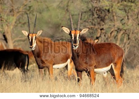 Sable antelopes (Hippotragus niger) in natural habitat, South Africa