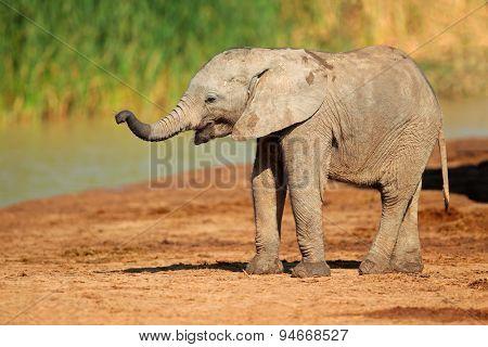 A cute baby African elephant (Loxodonta africana), Addo Elephant National Park, South Africa