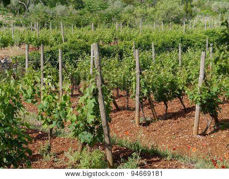 A Croatian vineyard in Stari Grad