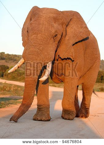 Huge male African elephant in musth with wet rear legs and oozing temporal gland poster