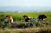Three bulls (ox) awaiting in Ebro Delta rice fields poster