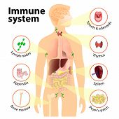 Immune system. Human anatomy. Human silhouette with internal organs. poster