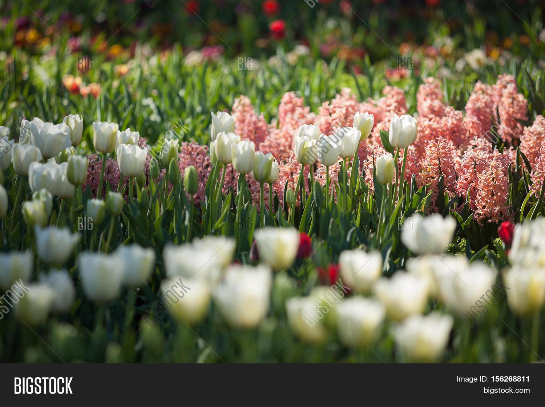 Tulip Flowers Full Image Photo Free Trial Bigstock