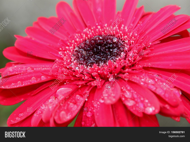 flor gerbera cor de image photo free trial bigstock