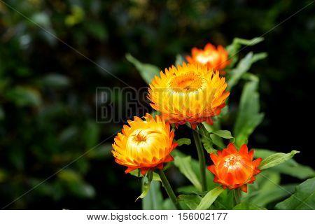 straw flower or everlasting or paper daisy flower