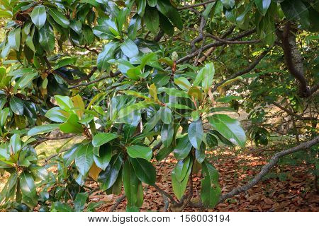 Magnolia is a large genus of flowering plant species in the subfamily Magnolioideae