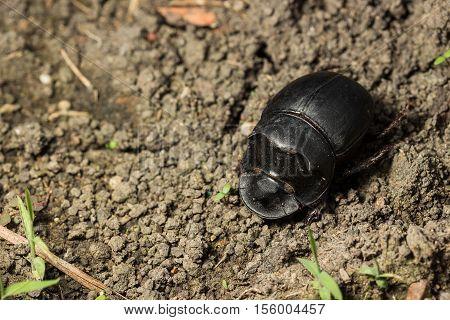 Beetle (catharsius Molossus) Rhino Beetle