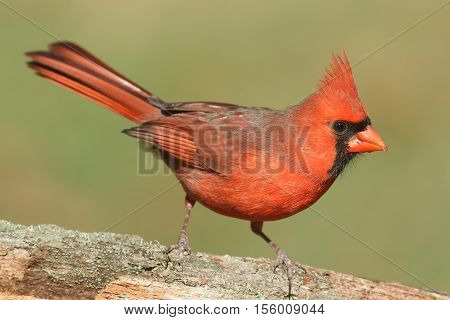 Male Northern Cardinal (cardinalis cardinalis) on a log with a green background