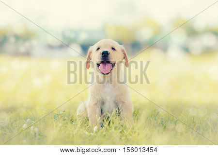 Dog in field. Labrador retriever puppy in field.