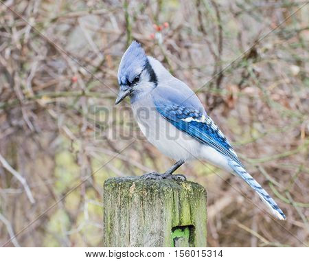 A Blue Jay perched on wooden post.