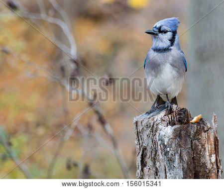 A Blue Jay perched on tree branch.