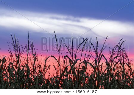 Stalks of corn are silhouetted by a colorful sunset sky at harvest time in central Indiana.