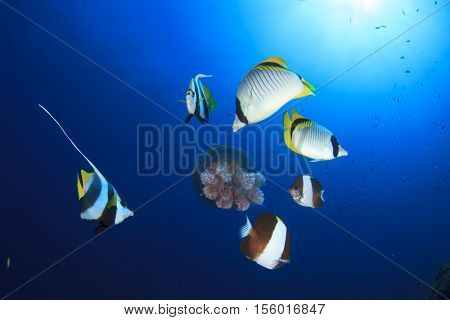Tropical fish (butterflyfish) feed on jellyfish