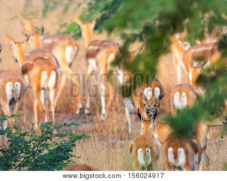 Female black buck doe, with food in her mouth, curiously looks back at the camera while the group moves forward.