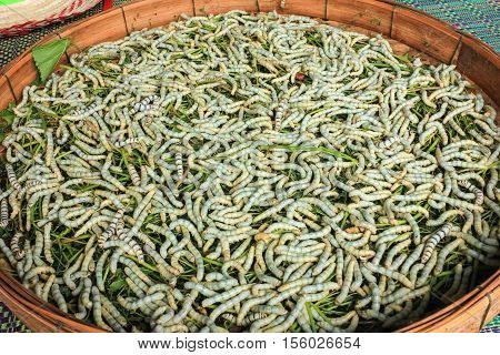 many silkworm eat leaves in the threshing basket