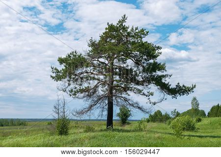 A lone pine growing on the edge of the field. Nature landscape