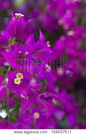 blurred background pink purple wall of flowering plant