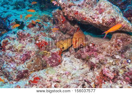 Giant Moray Eels And Red Grouper, Maldives