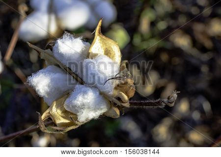 Close up of a ripe cotton boll still on the plant