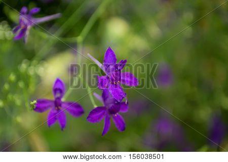 beautiful purple Delphinium consolida Consolida regalis on a green background