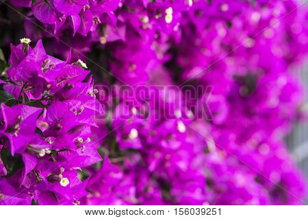 blurred background pink purple wall of flowering plant in the summer in the southern country
